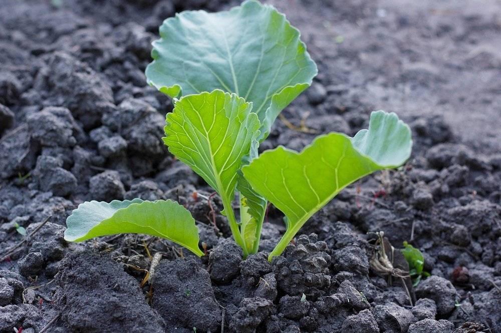 """Плохо растет капуста в открытом грунте: причины, почему очень долго """"стоит на одном месте"""" и что делать, если на огороде возникла такая проблема?"""