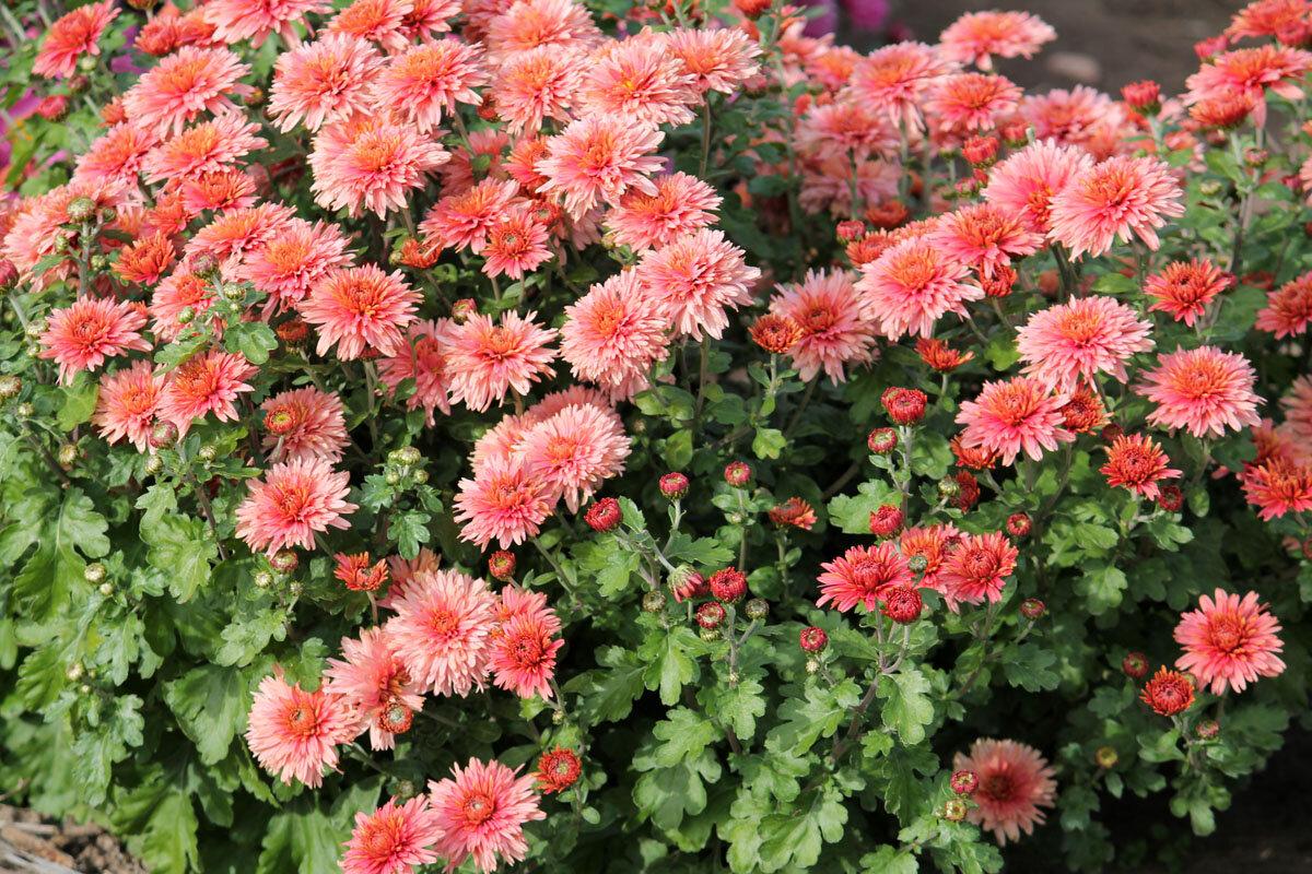 Хризантема садовая: посадка и уход в открытом грунте, выращивание из семян