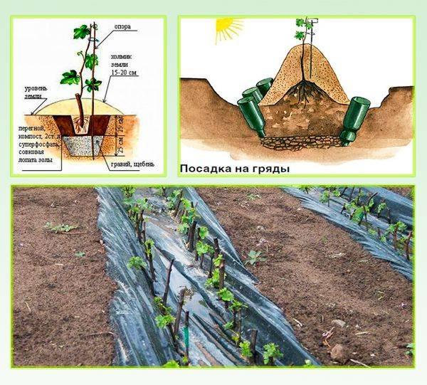 Виноград на урале: пошаговая инструкция посадки и выращивания