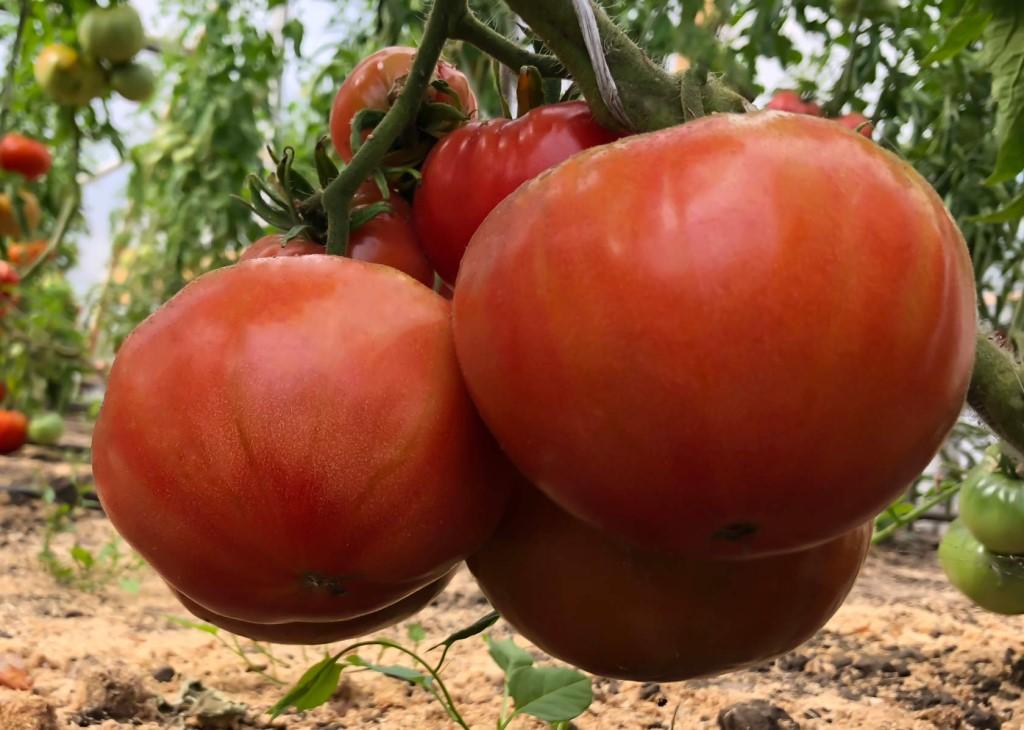 Характеристика и описание сорта томатов бийская роза и бийский розан - всё про сады
