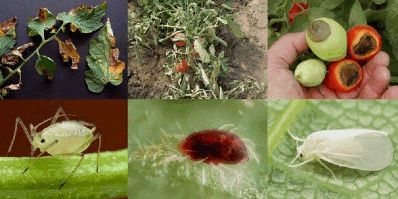 Белокрылка на томатах в теплице - как избавиться