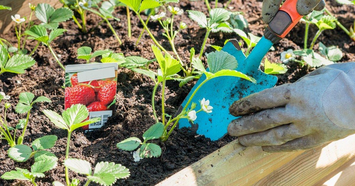 Клубника посадка и уход: методы выращивания, когда сажать и ухаживать