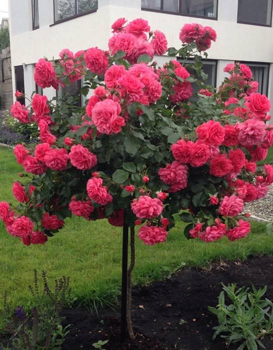 Роза розариум ютерсен (rosarium uetersen): описание и фото, применение в дизайне ландшафтов + правила посадки и ухода