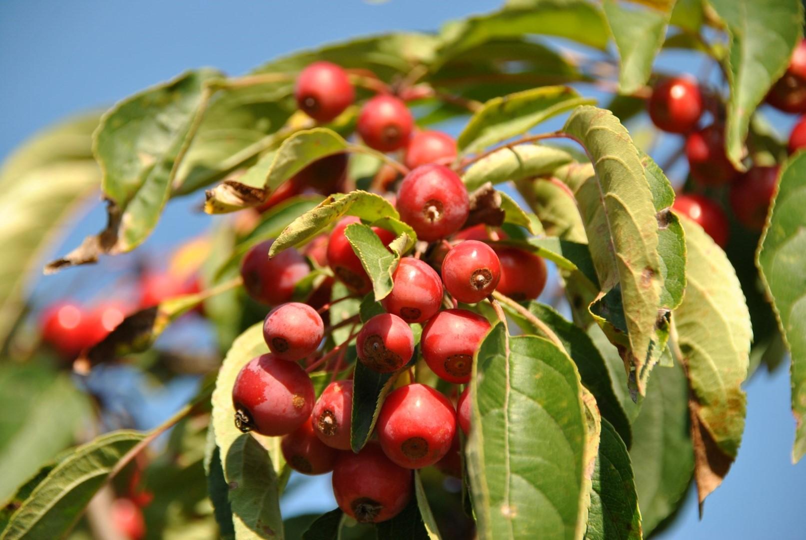 Основные характеристики сорта яблони ягодная или сибирская и ее особенности