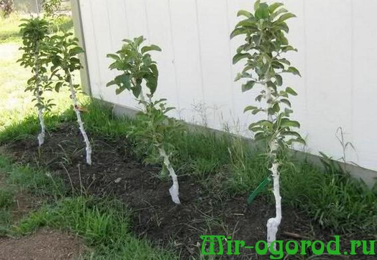 Почему не плодоносит колоновидная яблоня что делать - умный дачник