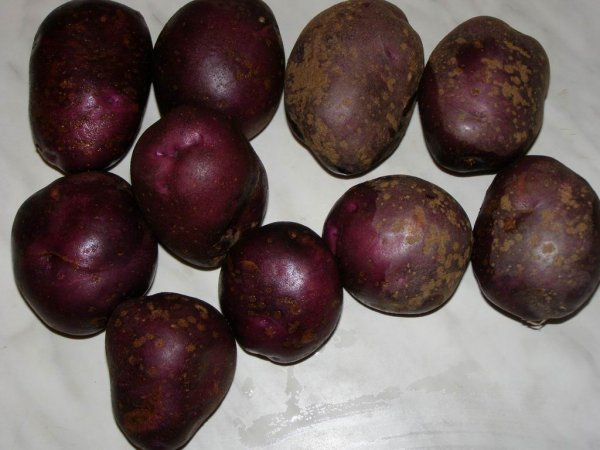 Фиолетовая картошка: сорта, польза и вред, как выращивать фиолетовый картофель