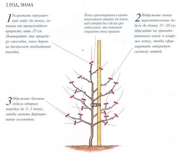 Колоновидная груша