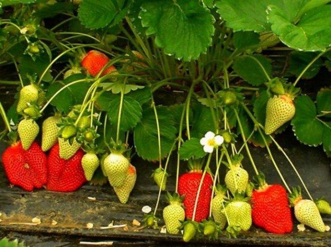 Технология фриго — особенности выращивания рассады клубники