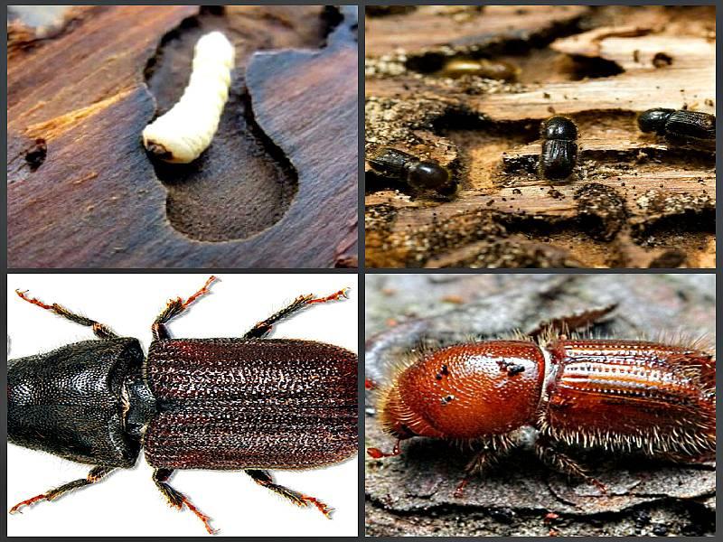 Как избавиться от жука-короеда на плодовых и хвойных деревьях