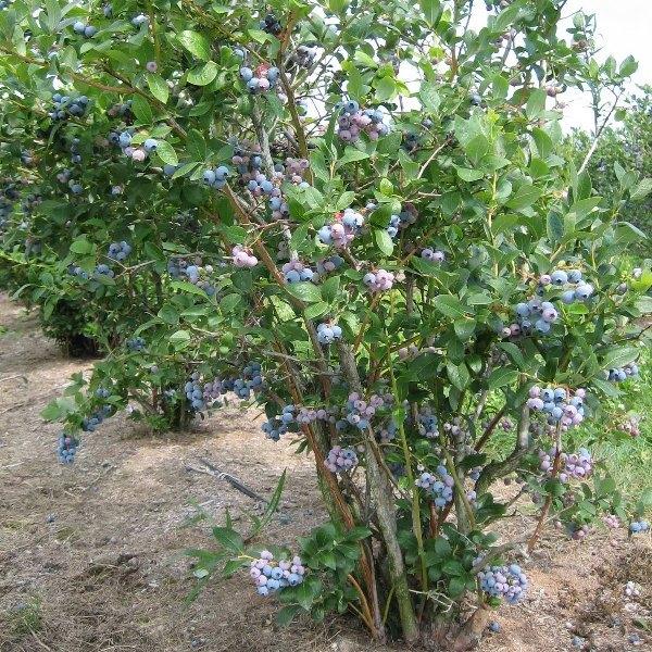 Голубика патриот: характеристика сорта, посадка и уход