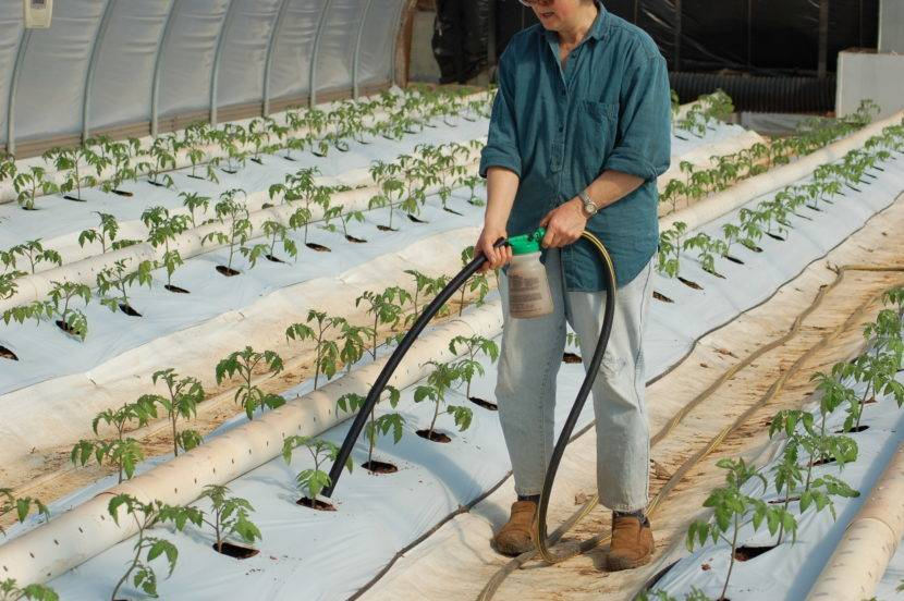 Розы в теплице: правила выращивания и ухода + полезные советы
