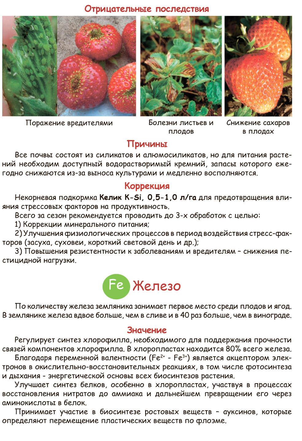 """Клубника пандора - описание сорта, фото и отзывы садоводов - журнал """"совхозик"""""""