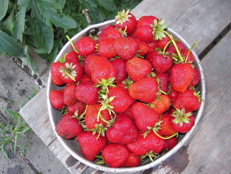 Клубника богота: богатырская ягода для юга россии