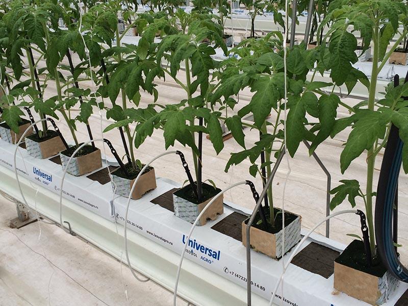 Голландская технология выращивания помидоров