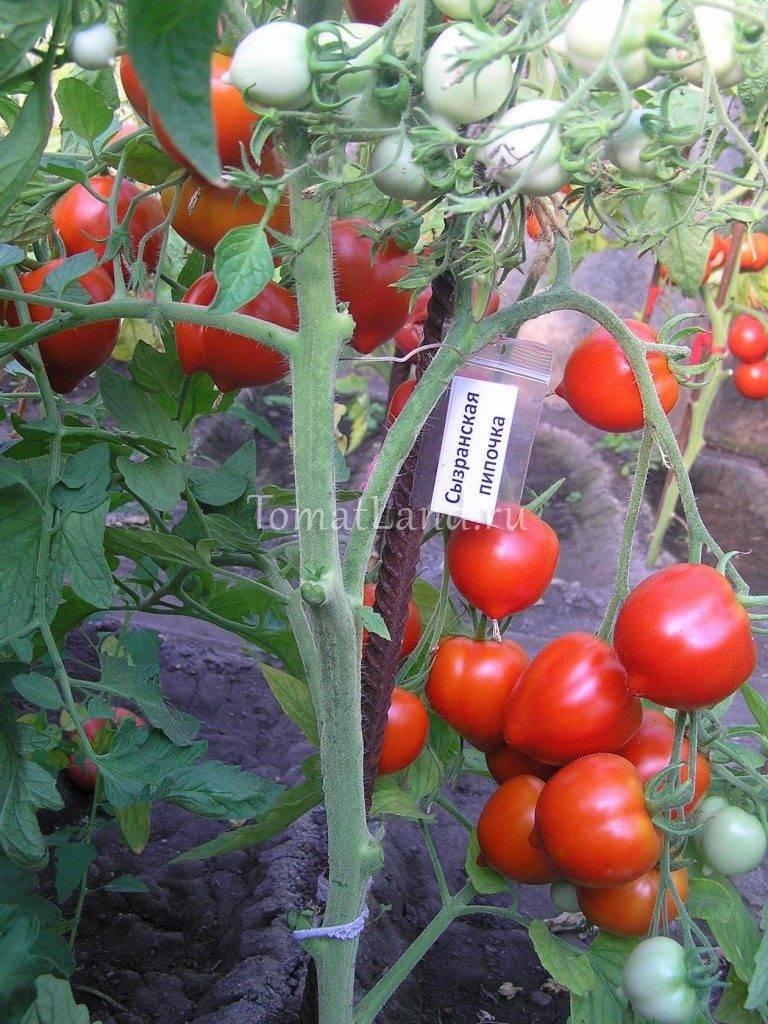 Рассада помидор: как посеять и вырастить томат в домашних условиях (120 фото)