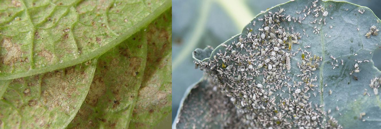 ❶ паутинный клещ на баклажанах: как выглядит и как бороться на открытом грунте, чтобы избавиться раз и навсегда