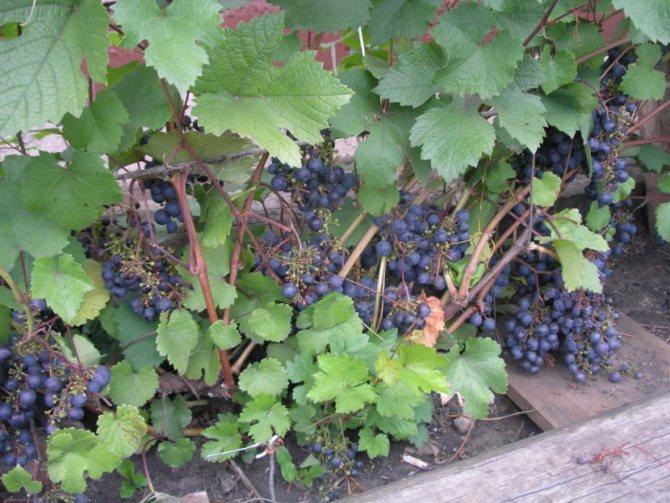 Почему не плодоносит виноград и не цветет: что делать, видео и фото
