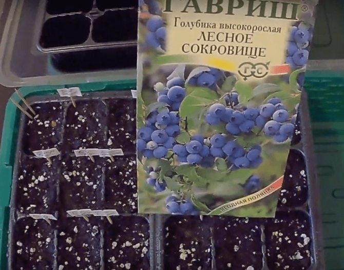 Как вырастить голубику из ягоды