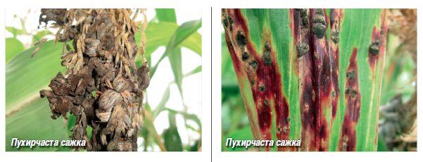 Вредители кукурузы и болезни: меры борьбы с ними, средства обработки от стеблевой гнили, кукурузного мотылька и не только, защита от потери урожая початков