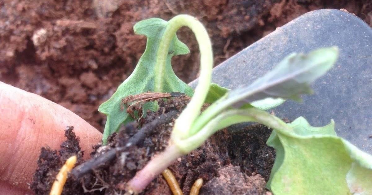 Что делать, если капуста сохнет на корню: профилактика, лечение и уход