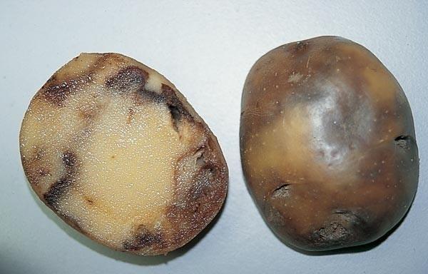 Ножка черная картофеля | справочник пестициды.ru