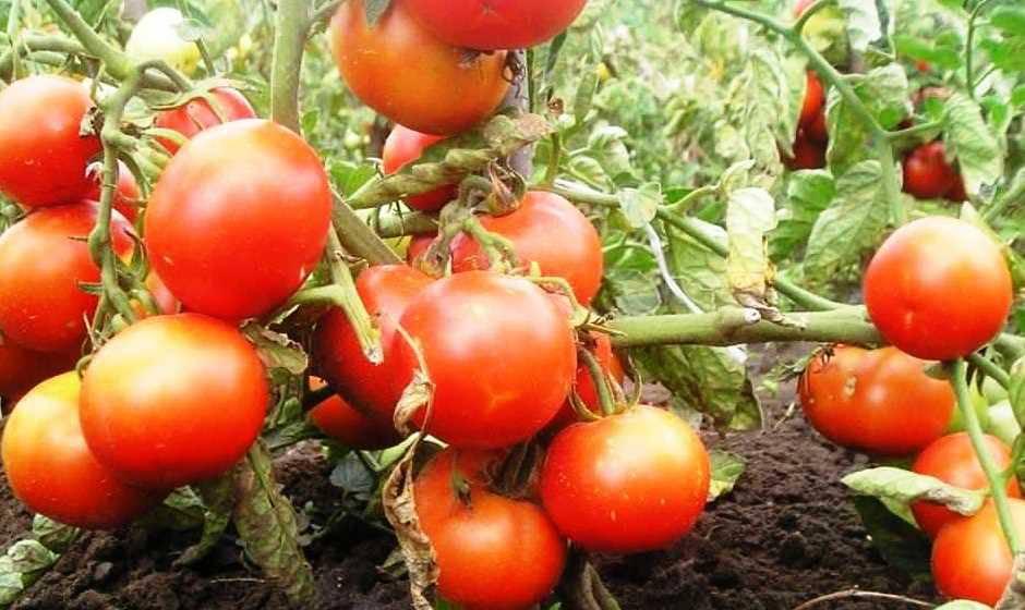 Описание томатов Любимец Подмосковья, выращивание селекционного сорта