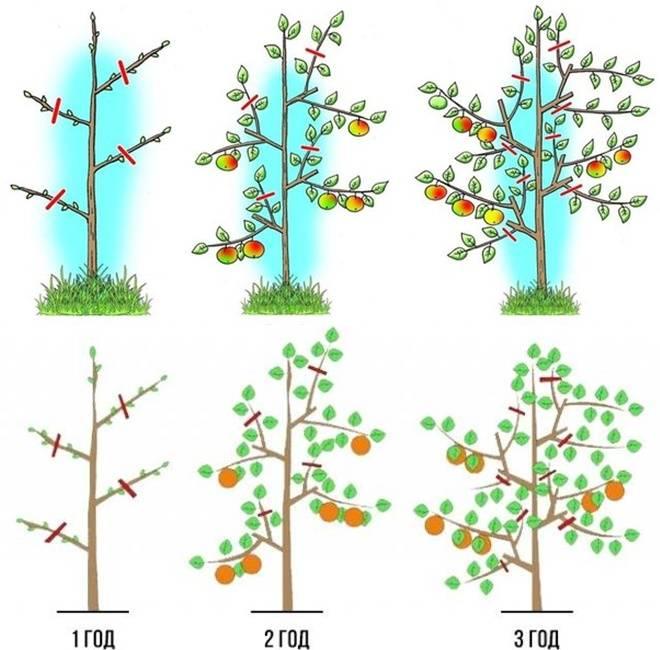 Обрезка колоновидных яблонь: правила и схема, видео и фото