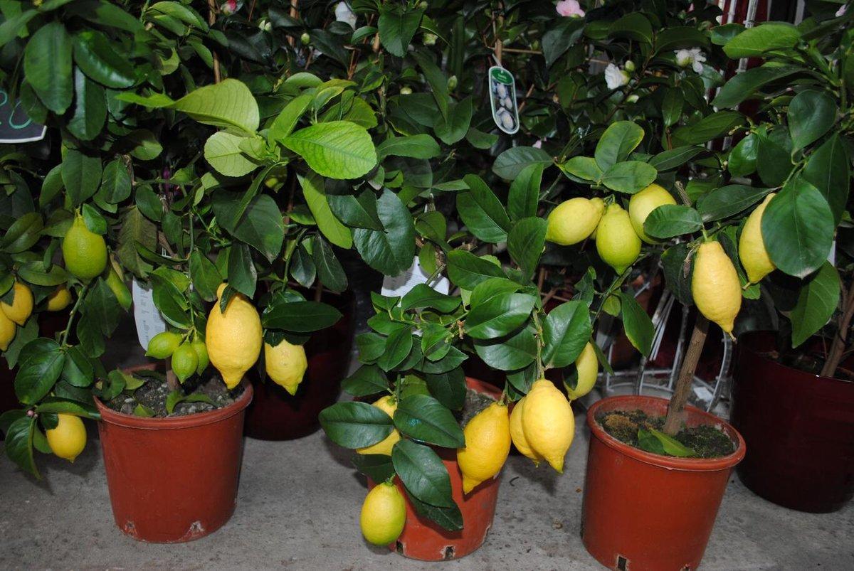 Секреты выращивания и ухода за павловским лимоном в домашних условиях