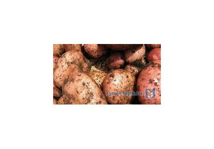 Картофель манифест: описание сорта и характеристика, посадка и уход с фото