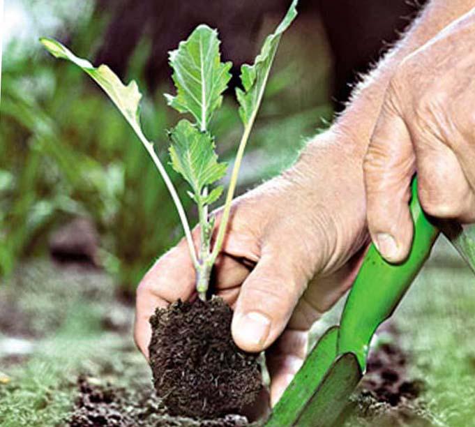 Ревень: выращивание и уход, посадка в открытом грунте, как размножить и когда собирать