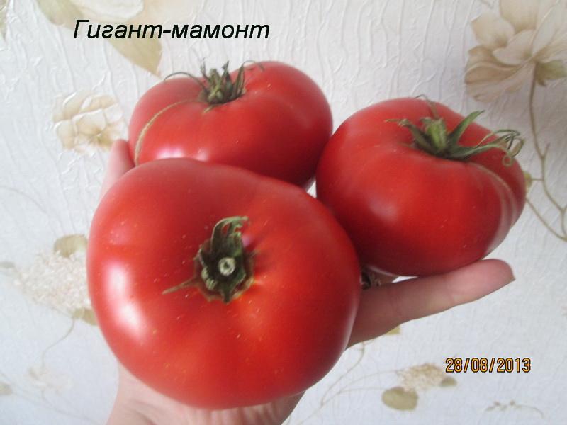 Лучшие крупноплодные томаты: сорта и гибриды