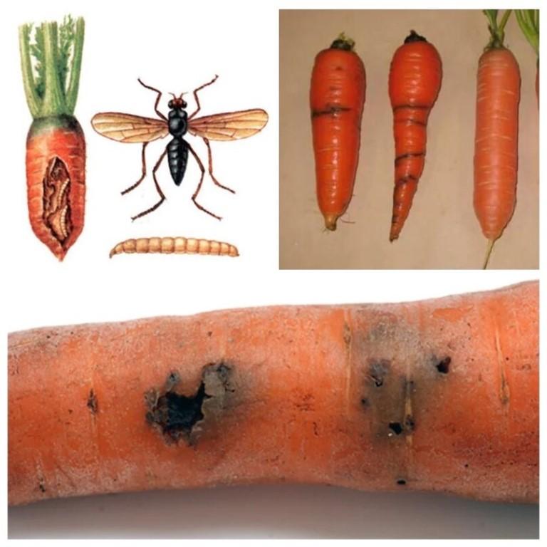 Болезни моркови: описание и лечение заболеваний, как бороться с вредителями, их фото, тля, плесень, способы защиты от фузариоза и альтернариоза, народные методы
