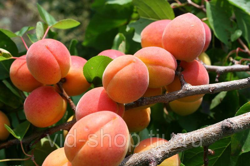 Характеристики и уход за сортом абрикосов лель