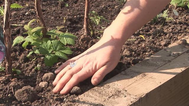 Особенности выращивания и ухода за ежевикой