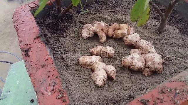 Пошаговая инструкция, как правильно выращивать имбирь на огороде в средней полосе россии
