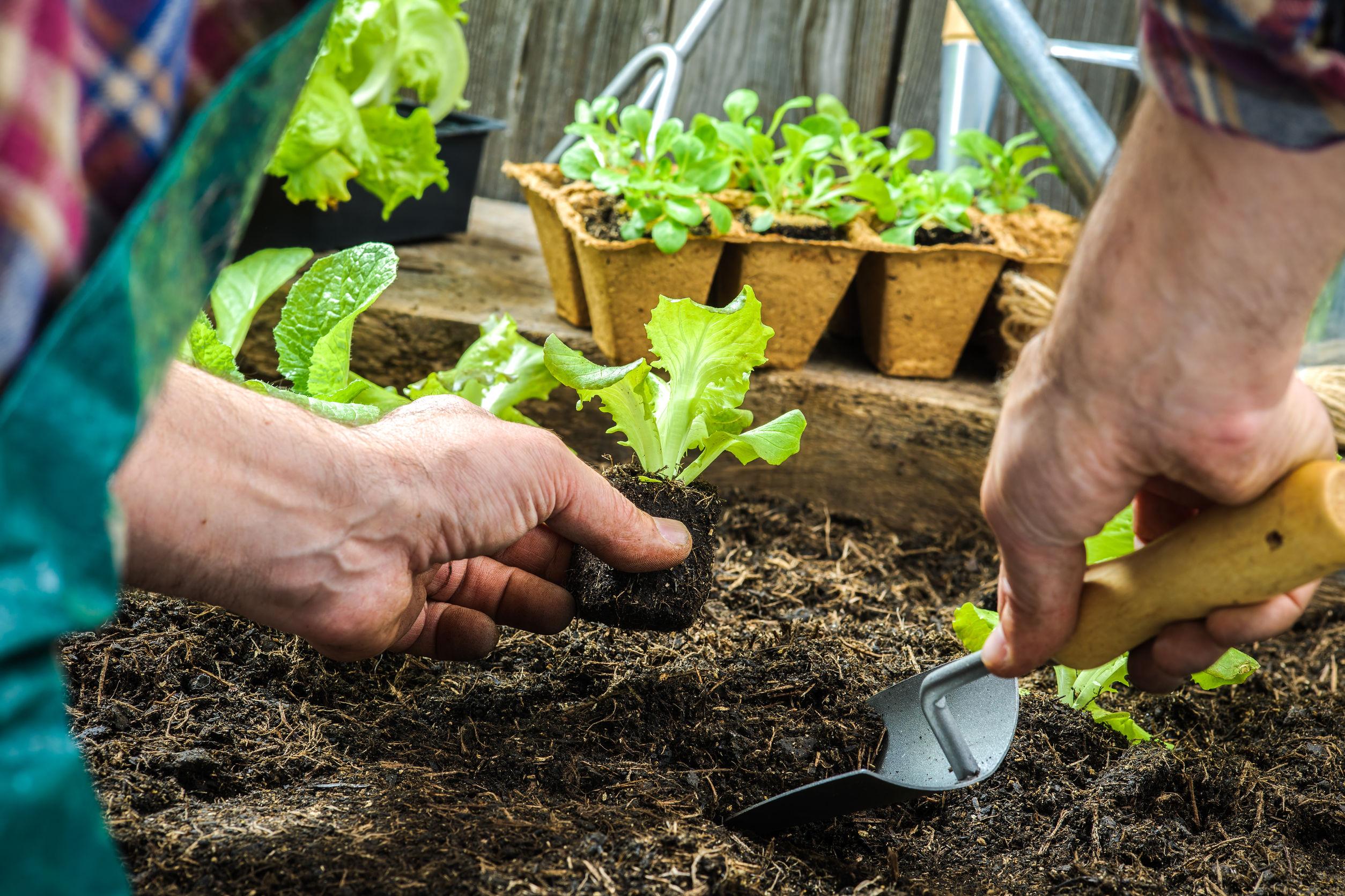 Салат: посадка и уход в открытом грунте, выращивание на подоконнике