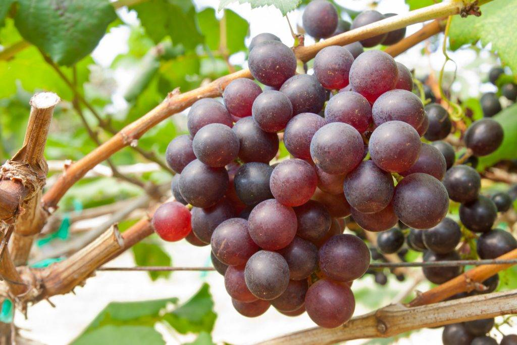 Виноград зарево: описание сорта и характеристики, правила посадки и ухода