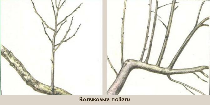 Почему груша не плодоносит и что делать с деревом