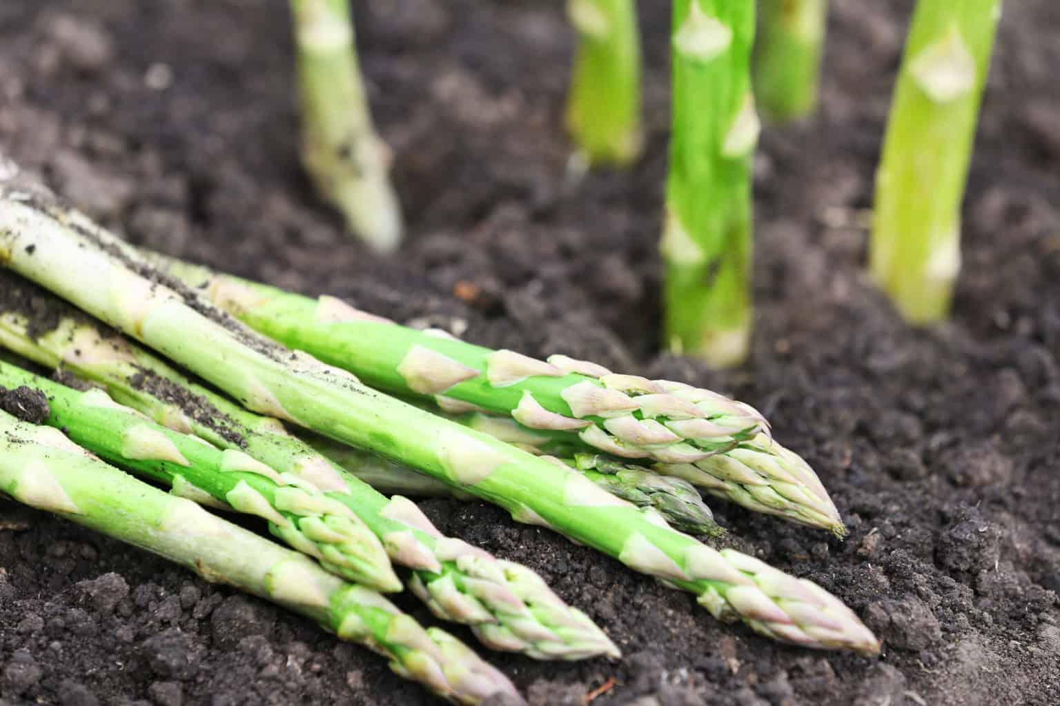 Спаржа: выращивание и уход в открытом грунте, полезные свойства