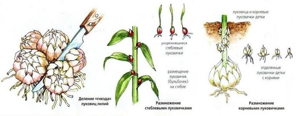 Размножение лилий чешуйками, бульбочками весной