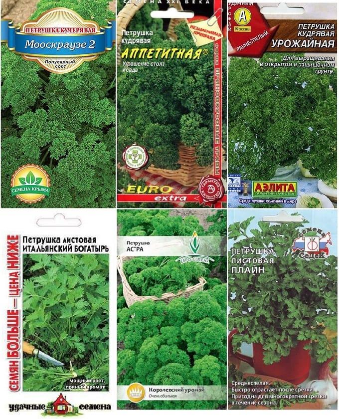 Лучшие сорта листовой и корневой петрушки