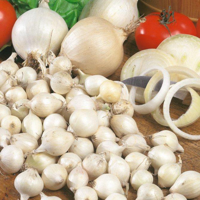 Белый лук — польза и вред, отличия от других видов, выращивание на ydoo.info
