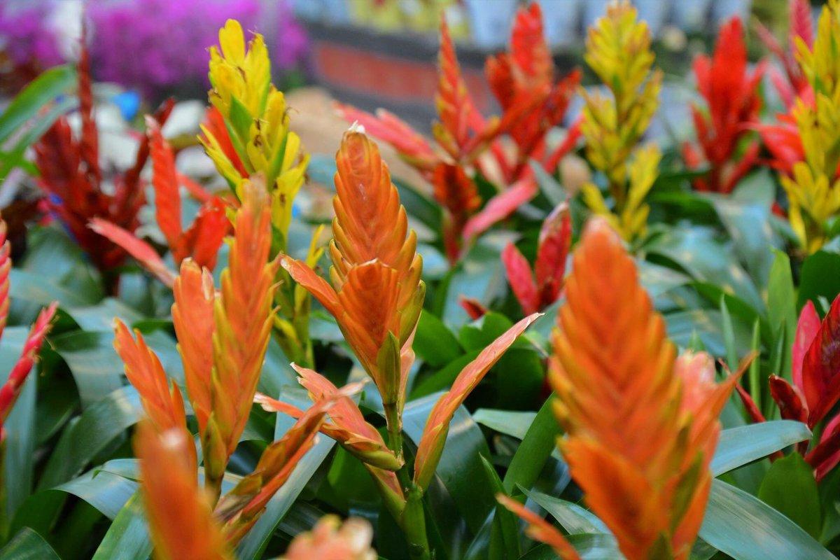 Вриезия: описание видов и особенности домашнего выращивания