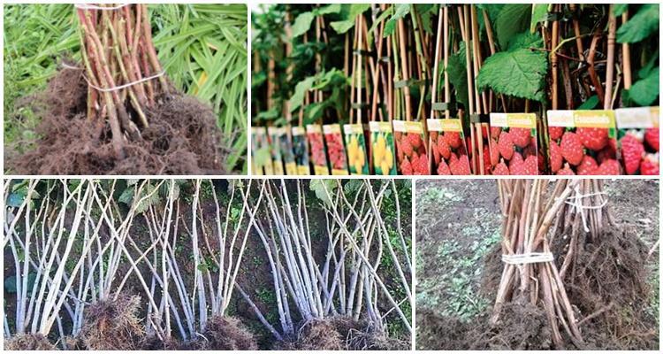 Малина бабье лето: описание сорта с характеристикой и отзывами, особенности посадки и выращивания и ухода, фото