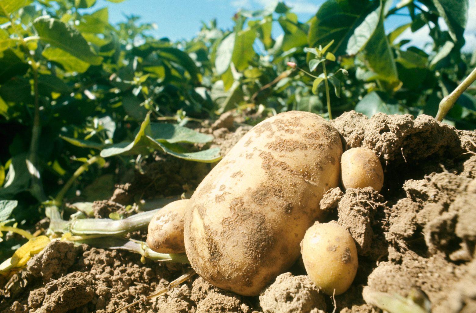 Картофель «голубизна» — описание, характеристика и особенности выращивания сорта
