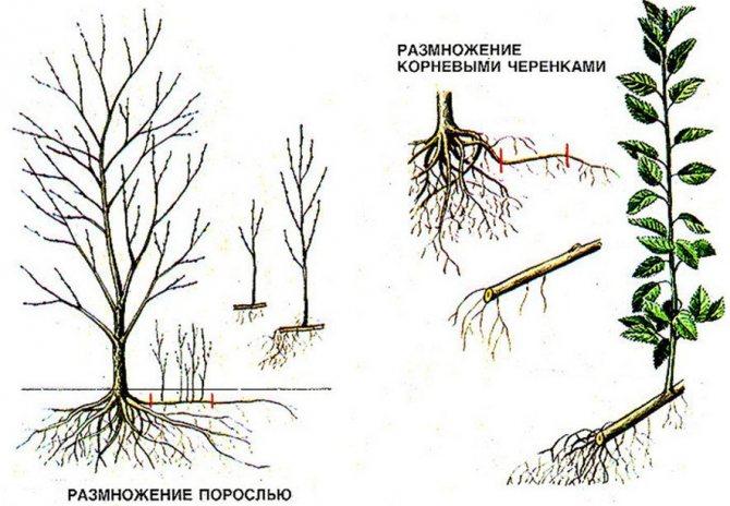 Размножение сливы корневой порослью, будет ли она плодоносить, пошаговая инструкция, плюсы и минусы такого способа размножения