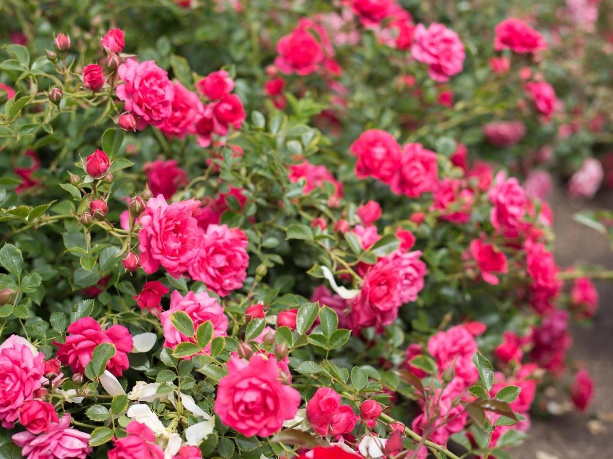 Почвопокровные розы: посадка и особенности выращивания