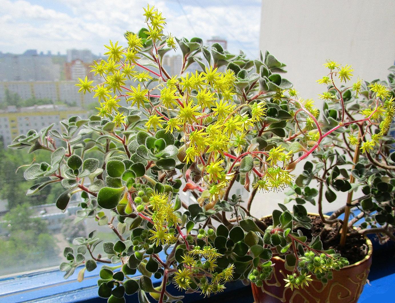 Аихризон (дерево любви): уход в домашних условиях, размножение, фото