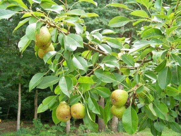 ✅ о груше пакхам: описание сорта, где растет, агротехника выращивания - tehnomir32.ru