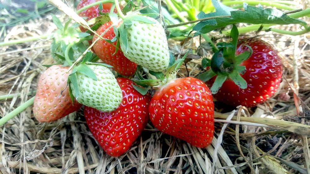 Всё о садовой землянике клери - описание сорта, посадка, уход и другие нюансы + фото